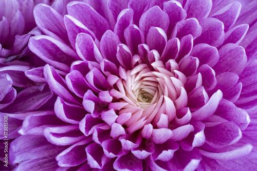 Purple daisy, macro