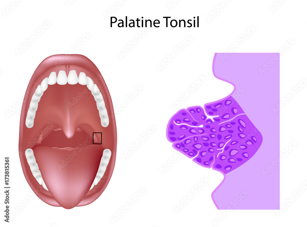 Anatomy Of The Palatine Tonsil Tissue In Cross Section Unlabeled