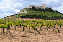 Vineyard With Castle Of Penafi...