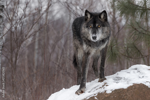 Black Phase Grey Wolf (Canis lupus) Paw Forward On Rock