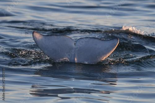Beluga whale breaching at sunset Fototapet