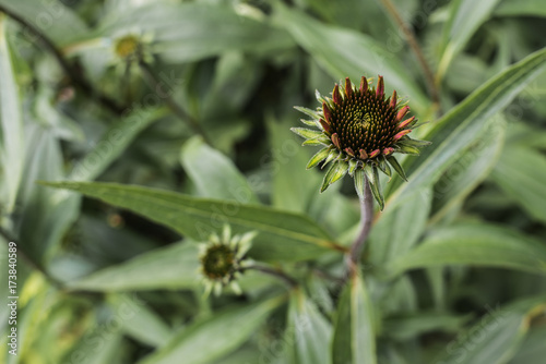 Fotografie, Obraz  Young Coneflower Heads in Bloom