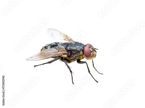 House Fly Diptera Insect Isolated on White
