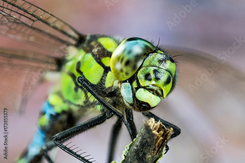 Focus Stacking - Blue Hawker, Southern Hawker, Common Hawker, Dragonfly, Hawker Dragonfly