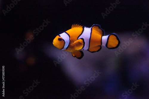 Obraz na plátne Clownfish, Amphiprioninae, in a marine fish and reef aquarium