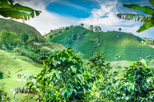 Coffee Plantation In Jerico Co...