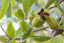 Pecans Ripening On The Tree