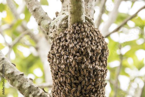 Plakat na drzewach gniazdowały pszczoły.
