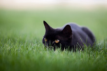 A Black Cat In The Grass Stalk...