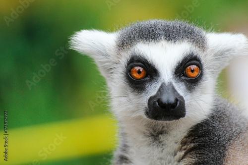 Portrait lemur - monkey from madagaskar