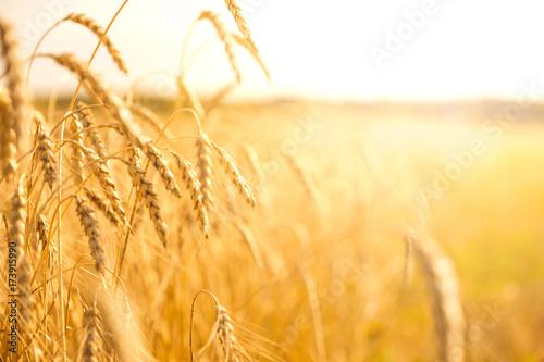 pole-pszenicy-z-bliska-na-sloneczny-dzien