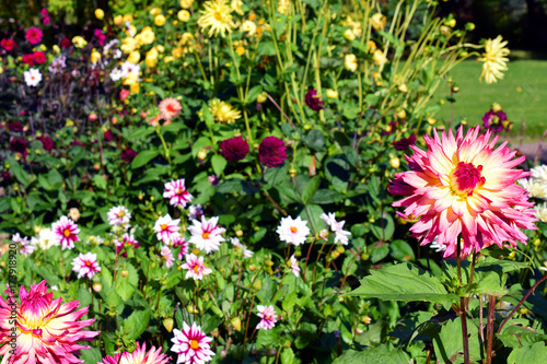 Leinwand Poster Colorful Dahlia flowers in garden.