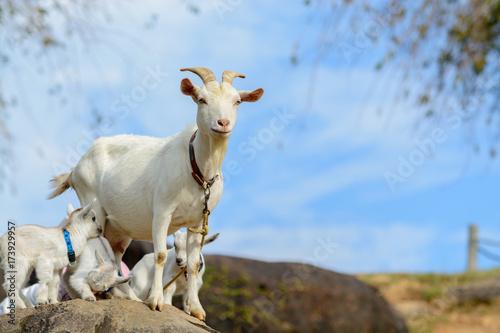 Plakat Rodzic i dziecko kozy