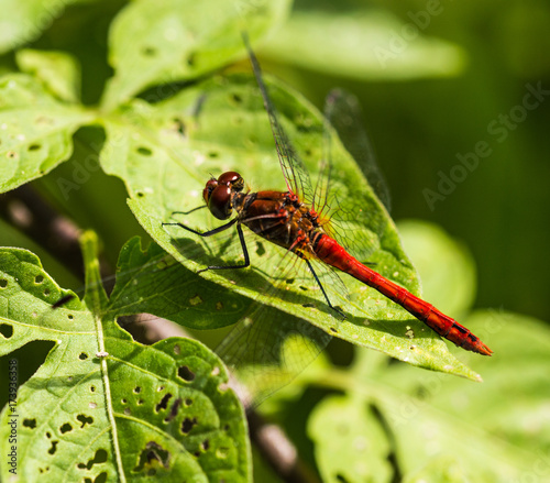 Valokuva Common Darter Dragonfly Perched on a Leaf