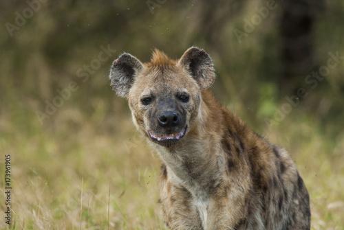 Foto op Aluminium Hyena Hyena South Africa