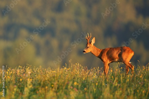 Photo  Roe deer male on the magical green grassland, european wildlife, wild animal in the nature habitat, deer rut in czech republic