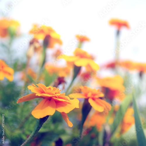 Plakat Piękne nagietki w ogrodzie (Tagetes erecta, nagietek meksykański, nagietek aztecki, nagietek afrykański)