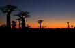 canvas print picture - Baobab Baeume im Sonnenuntergang