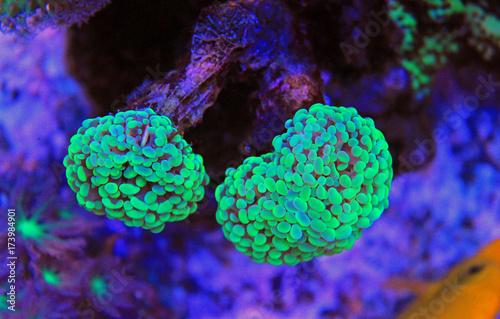 Plakat Koral młot Euphyllia