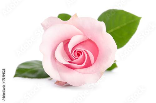 Fototapeta single bud of pink rose isolated on white background obraz na płótnie