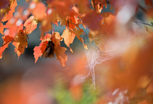 Autumn Leaves And Gossamer In The Wind Blurred Bright Background.