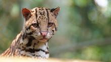 Tigrillo Looking At Camera On Green Background. Common Names: Ocelote, Tigrillo. Scientific Name: Leopardus Pardalis