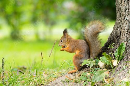 Zdjęcie XXL wiewiórka na gałęzi