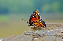 Monarch Butterfly On Mossy Rock