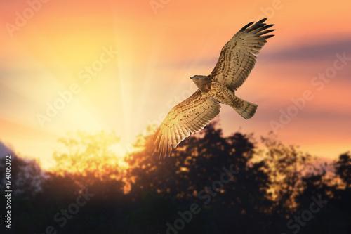 Bird of prey ,short toed snake eagle flying across twilight