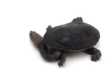Northern Snake-necked Turtle I...
