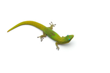 Fototapeta The gold dust day gecko isolated on white background