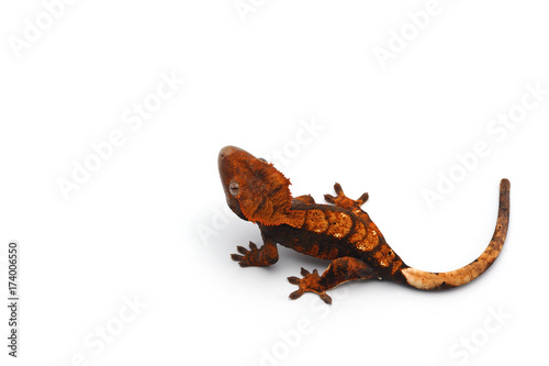 Fotografie, Obraz  Crested Gecko isolated on white background