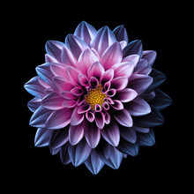 Surreal Dark Chrome Pink And Purple Flower Dahlia Macro Isolated On Black