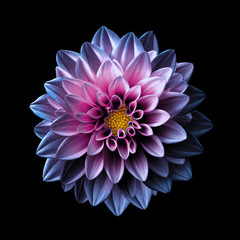 Nadrealni tamno kromirani ružičasti i ljubičasti cvijet makro dalija izoliran na crnoj