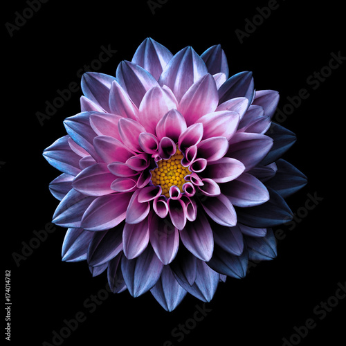 Valokuva Surreal dark chrome pink and purple flower dahlia macro isolated on black