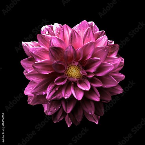 In de dag Dahlia Surreal dark chrome pink flower dahlia macro isolated on black