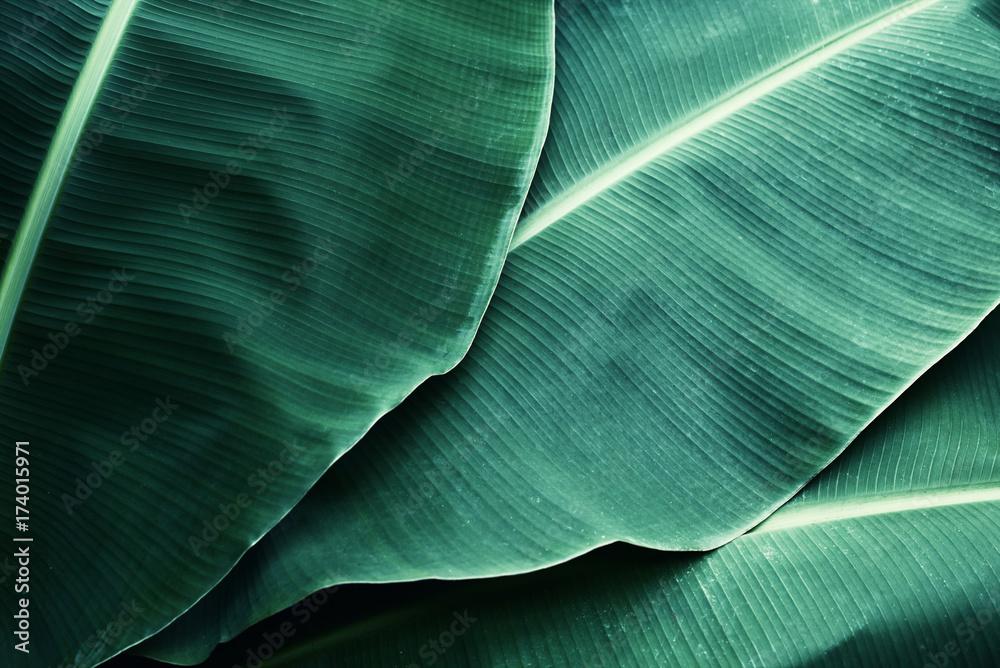 Fototapeta Beautiful tropical banana leaf texture background - obraz na płótnie