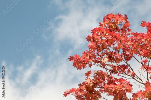 czerwony-lisc-klonu-na-tle-blekitnego-nieba-w-japonii