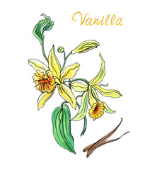 Fototapeta Botaniczne Vanilla with flowers and pods, hand-drawn on a white background.