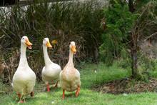 Three Ducks Walk In A Grass Parade.