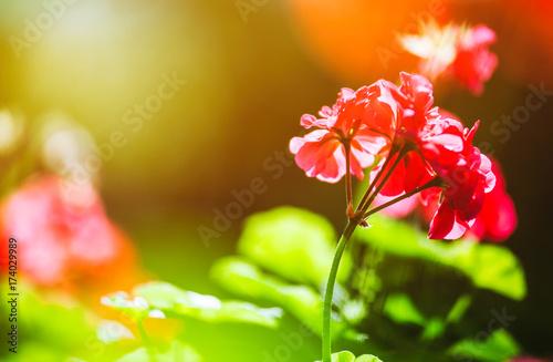 Balcony flowers. Blossom of geranium close up