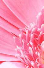Pink Gerbera Daisy Macro