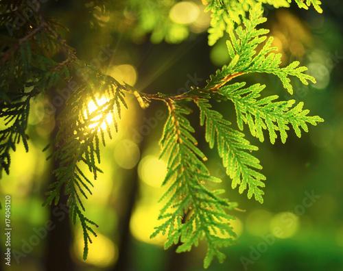 Canvastavla The sun in the Bush thuja (cypress)