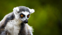 Lemur Catta, A Curious Animal