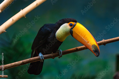 In de dag Toekan Toco toucan or Ramphastos toco sits on branch