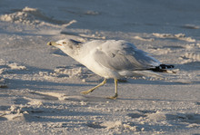 Ring-Billed Gull On The March