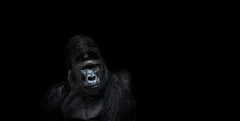Portrait Of A Male Gorilla On A Black Background