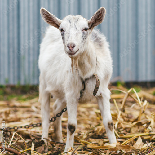 Fotografía  White goat at the village in a cornfield, goat on autumn grass, goat stands and