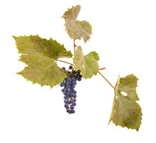 Brush Freshly Ripped Grapes Wi...