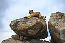 Lion& Lichen On A Rock